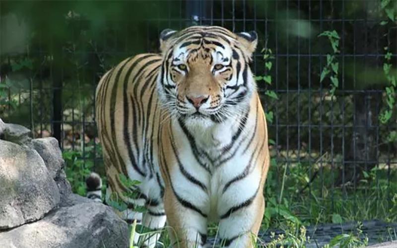 Blank Park Zoo Calendar : Des moines zoo tiger dies of lymphoma kboe fm hot